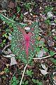 Malaysian leaf (28947392916).jpg