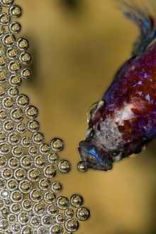 giant gourami fish breeding