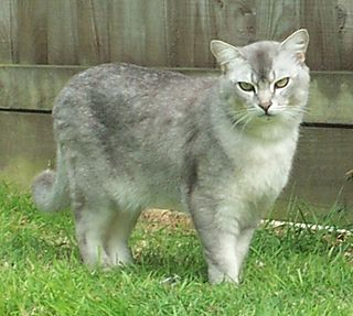 Burmilla Breed of cat