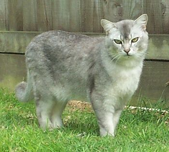 A male Burmilla cat in the United Kingdom. His...
