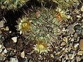 Mammillaria microhelia 22.JPG