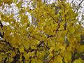 Manchurian bush apricot.jpg