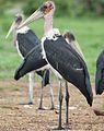 Marabou Stork, Leptoptilos crumeniferus, at the aptly named Marabou Pan, Savuti, Chobe National Park, Botswana (32746569916).jpg