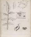Marcello Malpighi Anatomia Plantarum tab XIX.png