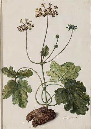 Maria Moninckx - Pelargonium lobatum (Burm.f.) Willd.