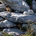 Marmota camtschatica img 4971.jpg