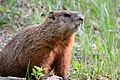Marmota monax UL 17.jpg