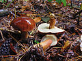Maronenröhrling Imleria badia syn. Boletus badius, syn. Xerocomus badius.jpg