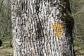 Marque chamois arbre bio chêne sessile.jpg