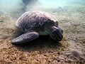 Marsa Murena Schildkröte.JPG