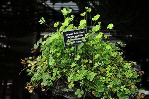Marsilea quadrifolia - Image: Marsilea quadrifolia plants