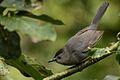 Maullador Gris, Gray Catbird, Dumetella carolinensis (22649484127).jpg