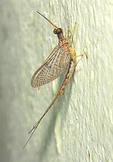 Walker/'s Mayfly Nymph X 5