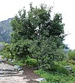 Maytenus acuminata - Silky Bark tree - Cape Town 1.jpg