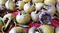 Medlar (Mespilus germanica) unripe fruits detail, Barrmill Park, North Ayrshire, Scotland.jpg