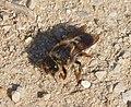 Megachile (Chalicodoma) (31987254080).jpg