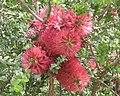 Melaleuca elliptica 2.jpg