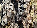 Melanerpes formicivorus-Acorn Storage-4.jpg