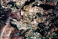 Melanohalea olivacea-1.jpg