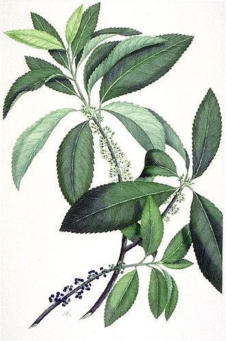 Melicytus ramiflorus - Botanical illustration by Gerald Sibelius