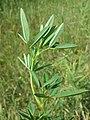 Melilotus dentatus sl8.jpg