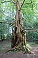 Metasequoia glyptostroboides - Trewidden Garden - Cornwall, England - DSC02446.jpg