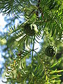 Metasequoia young female cones04.jpg