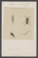 Metoecus - Print - Iconographia Zoologica - Special Collections University of Amsterdam - UBAINV0274 028 09 0009.tif