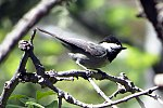 Mexican Chickadee (18189229812).jpg