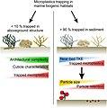 Microplastics trapping in marine biogenic habitats 2.jpg