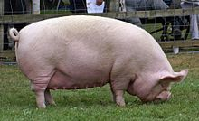 A Middle White sow at a pig show