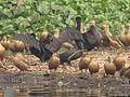 Migratory Birds - Santragachi Lake - Howrah 2012-01-26 1610.JPG