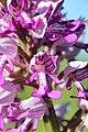 Military orchid - Orchis militaris - panoramio (15).jpg