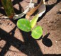 Mim elengi seedling Pj IMG 20150728 125717.JPG