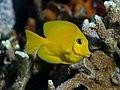 Mimic surgeonfish juvenile (Acanthurus pyroferus) (37188512731).jpg