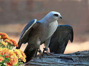 Description de l'image Mississippi Kite RWD3.jpg.