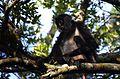 Mono araña centroamericano, Ateles geoffroyi (23386502084).jpg