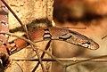 Montane Trinket Snake Coelognathus helena monticollaris by Dr. Raju Kasambe DSCN5610 (11).jpg