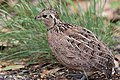 Montezuma Quail ( female) 42 to South Fork Portal AZ 2016-08-11 11-30-21 (47807558051).jpg