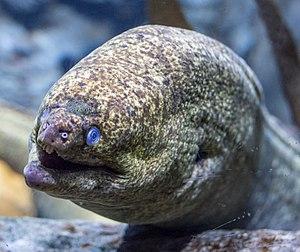 Aquarium of the Americas - Image: Moray Eel at the Audubon Aquarium of the Americas