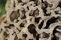 Morchella esculenta (26029254814).jpg