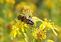 Mosca de las flores 03 - Eristalodes taeniops - Hover fly (269257996).jpg