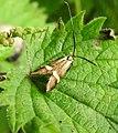 Moth (27845586852).jpg
