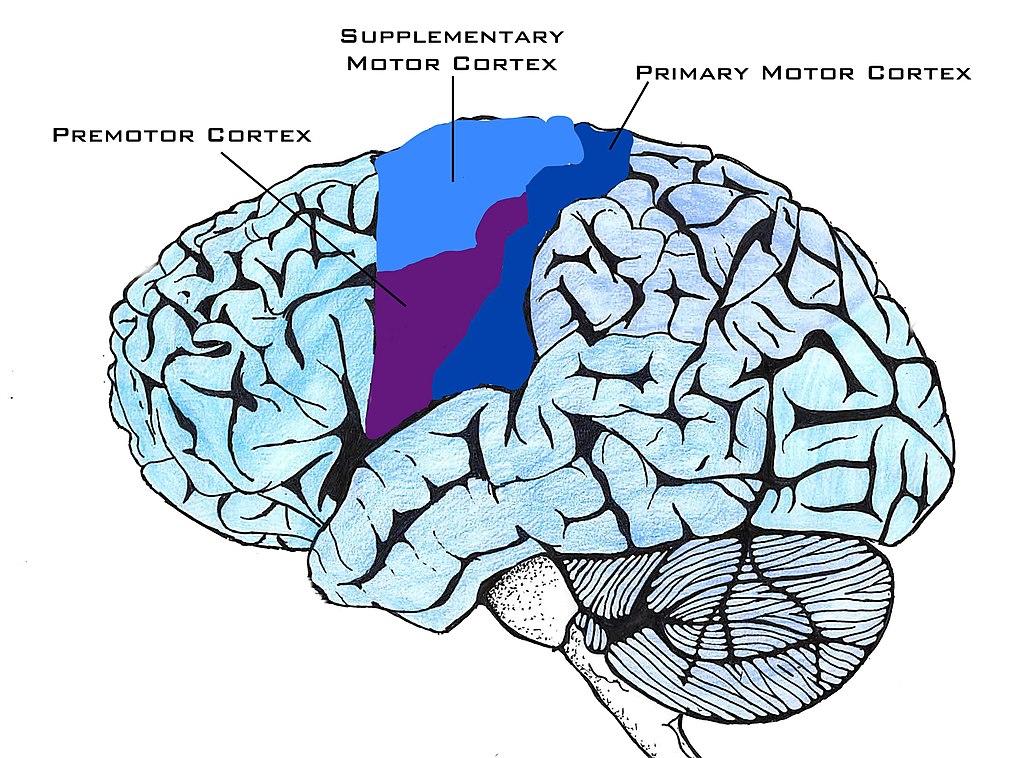 File:Motor Cortex Image.jpg - Wikimedia Commons