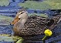 Mottled duck green cay dec (14291462245).jpg