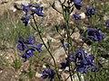 Mountain marsh larkspur, Delphinium polycladon (39574173032).jpg