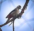 Mrs Woodpecker (39491839851).jpg