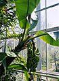 Musa ×paradisiaca (2943651497).jpg