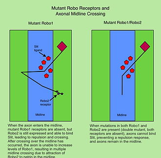 Roundabout family - Mutant Robo Receptors and Axonal Midline Crossing