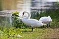 Mute Swan - 9-23-14 - Bois de Vincennes, Paris, FR (20149928705).jpg